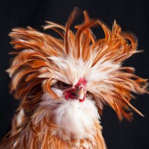 پلیت مرغی