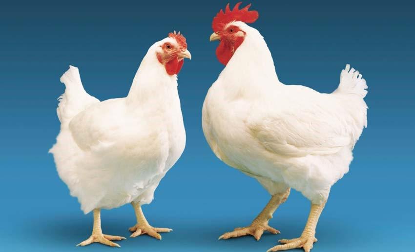پلت مرغی