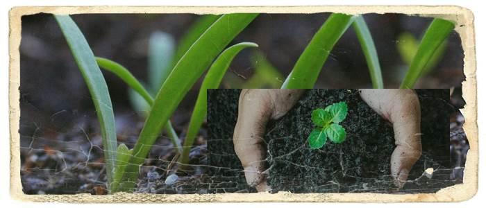 تاثیر اسید هیومیک بر گل ها - تاثیر اسید هیومیک