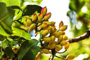 پسته بر روی درخت - اثر هیومیک اسید در پسته