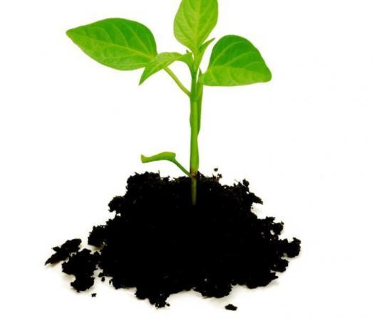 بوته گیاهی در خاک - تاثیر اسید هیومیک بر ریشه زایی