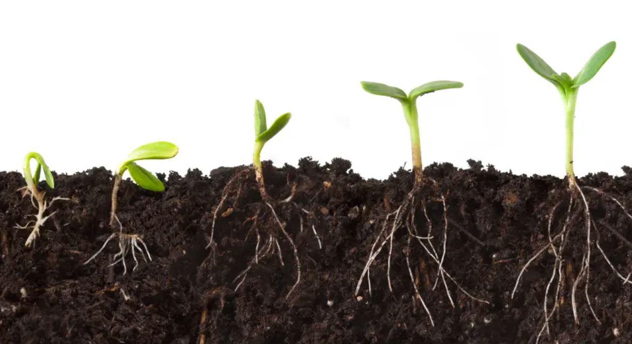 نمایی از ریشه بوته ها در خاک - تاثیر اسید هیومیک بر ریشه زایی
