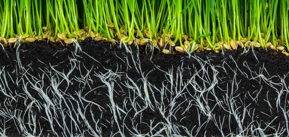 نمایی از ریشه بوته ها در خاک که توسط اسید هیومیک تغذیه شده اند - تاثیر اسید هیومیک بر ریشه زایی