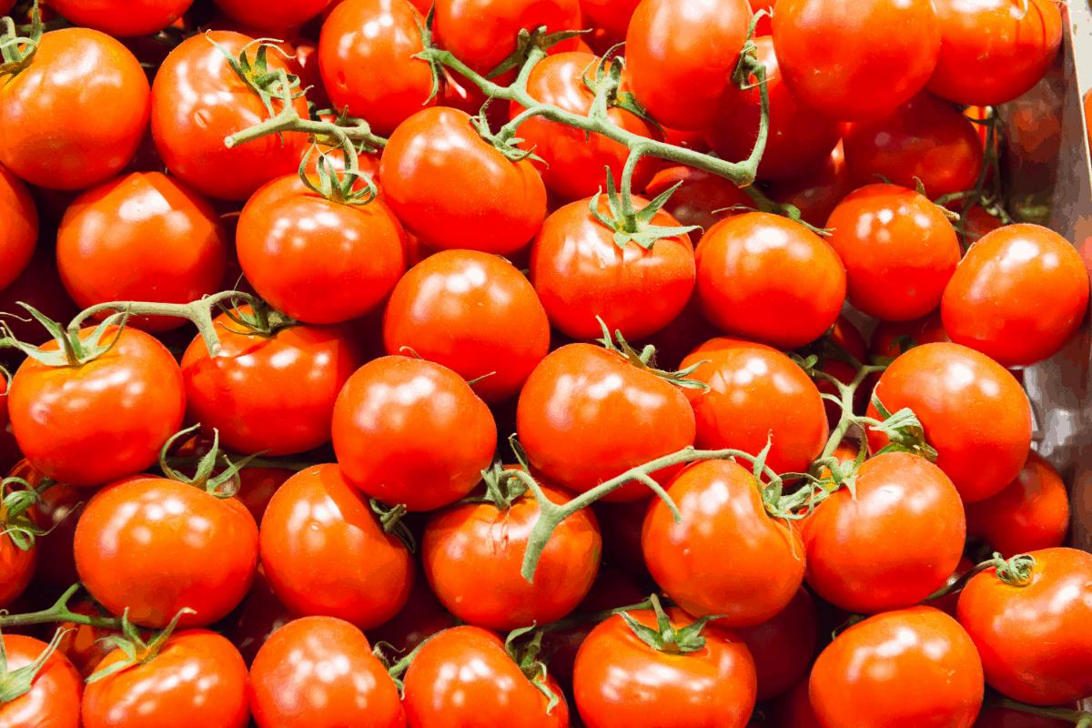 گوجه فرنگی - کوددهی نشا گوجه فرنگی