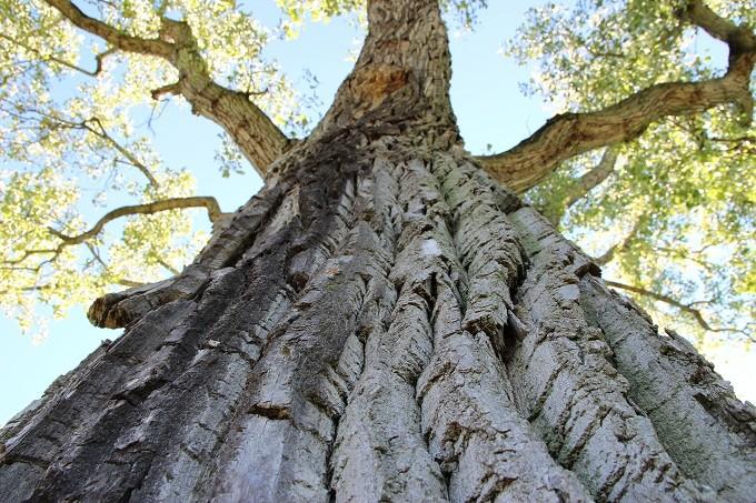 کود درخت صنوبر - Cottonwood