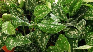 اسید هیومیک برای پتوس - Petus