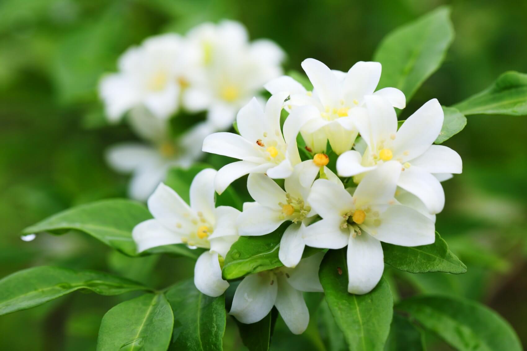 اسید هیومیک برای گل یاس