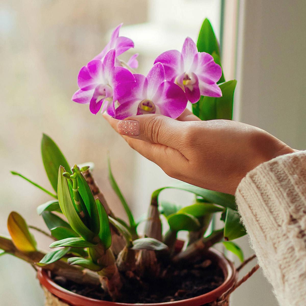 اسید هیومیک برای گل ارکیده
