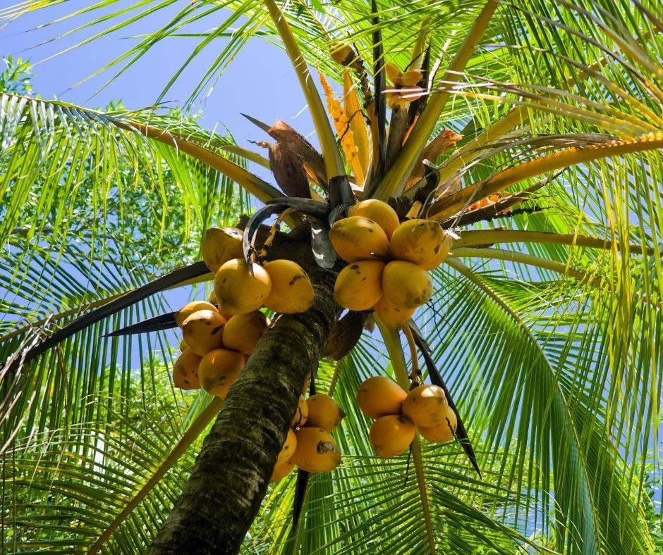 کود درخت نارگیل - Coconut tree fertilizer