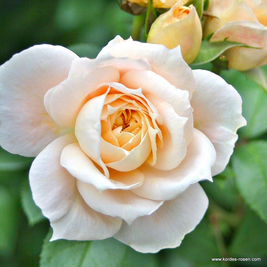 گل رز - تاثیر اسید هیومیک بر گل رز