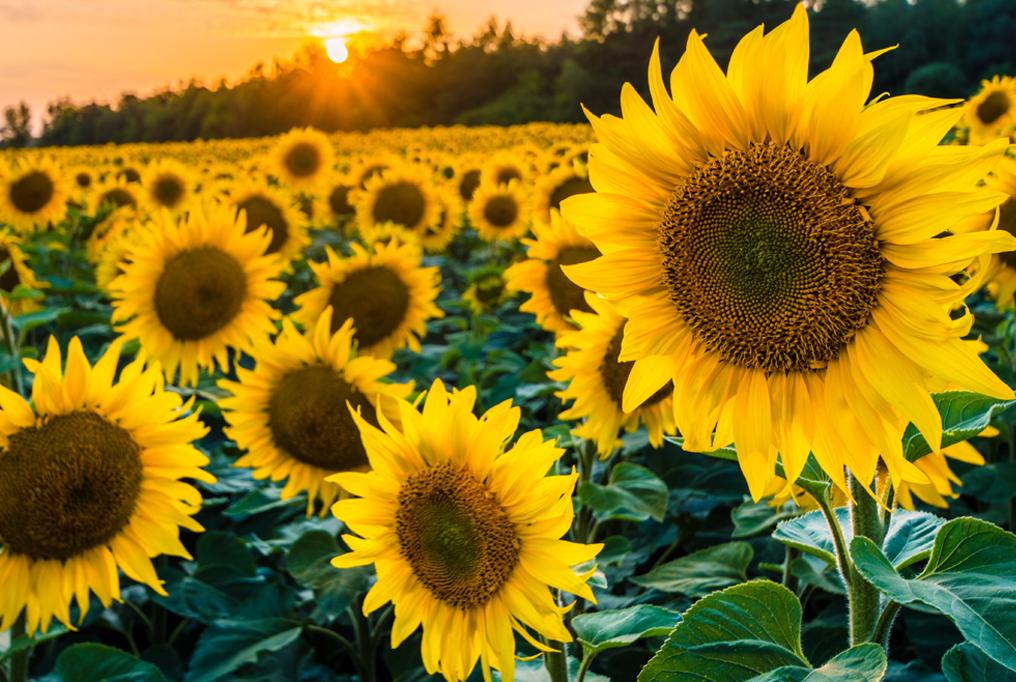 تاثیر اسیدهیومیک بر گیاه آفتابگردان