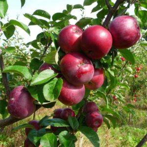 هرس درخت سیب