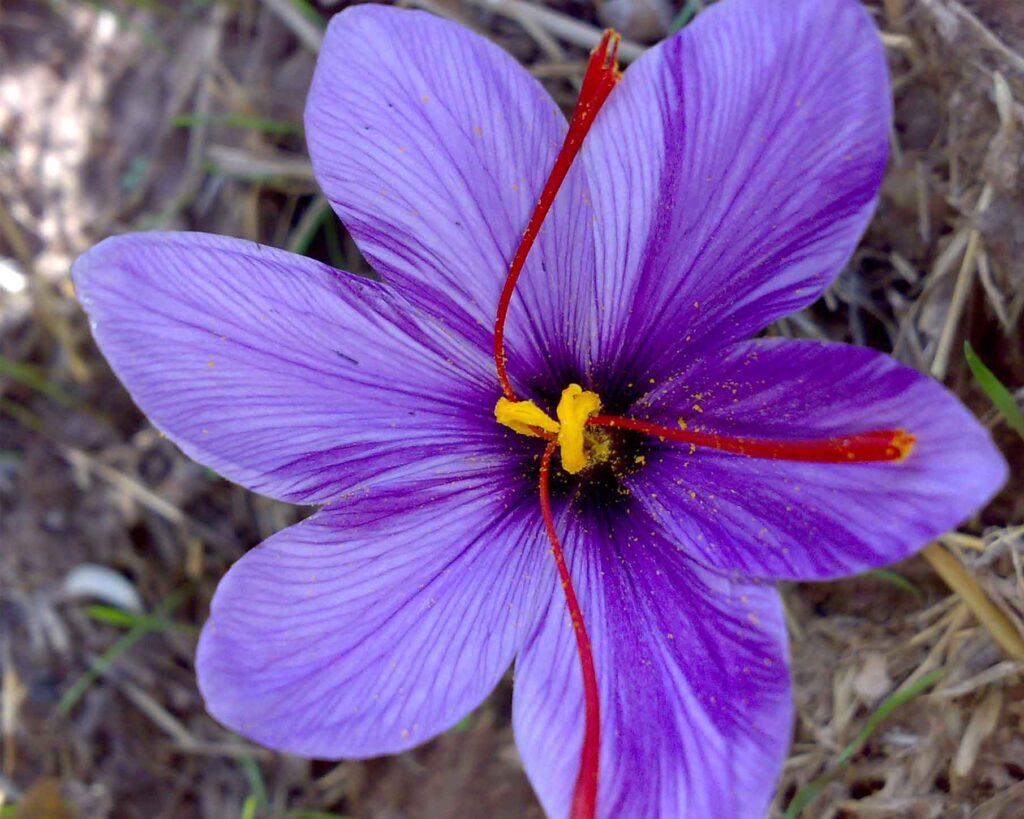 تاثیر اسید هیومیک بر زعفران