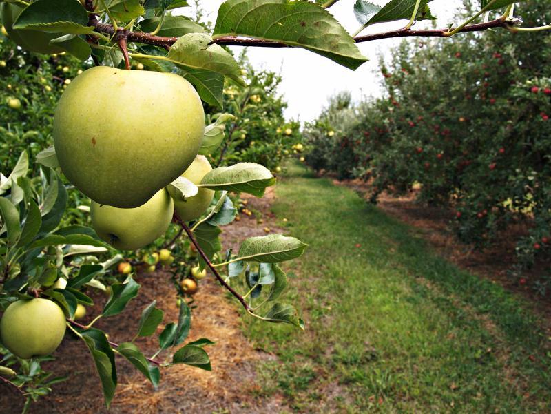 گوگرد برای درخت سیب